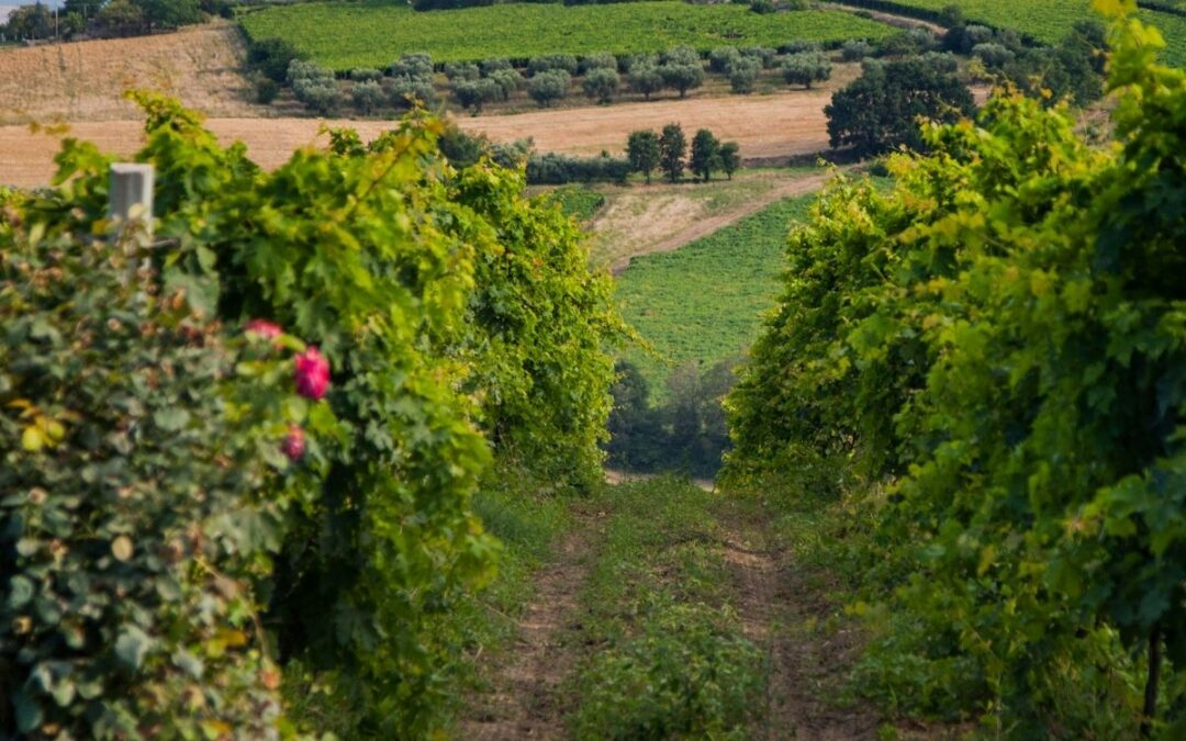 Sangiovese en Montepulciano, de druiven in Guerrieri Sangiovese Riserva Galileo